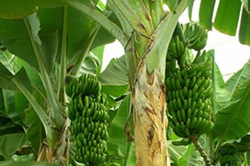 - バナナ樹皮素材